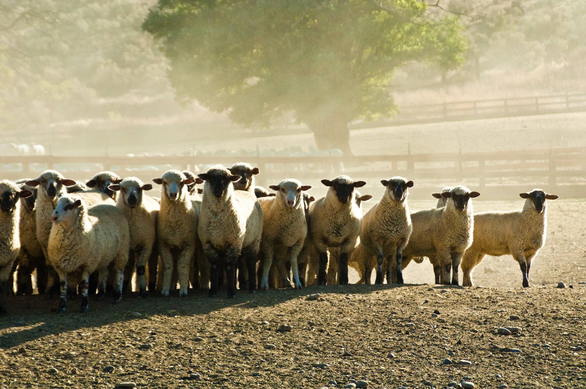 Sheep All in a Row