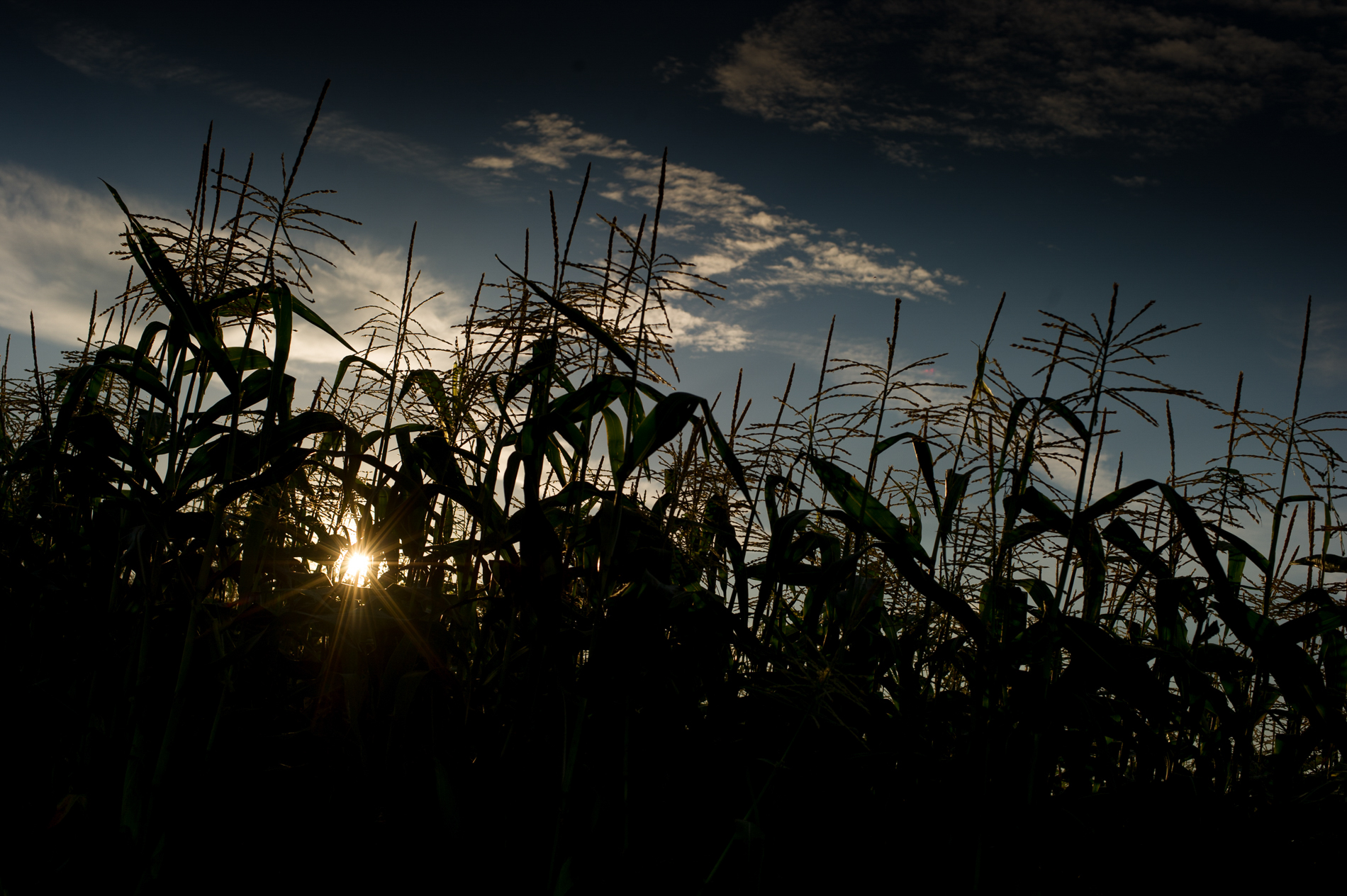 Corn at Sunset