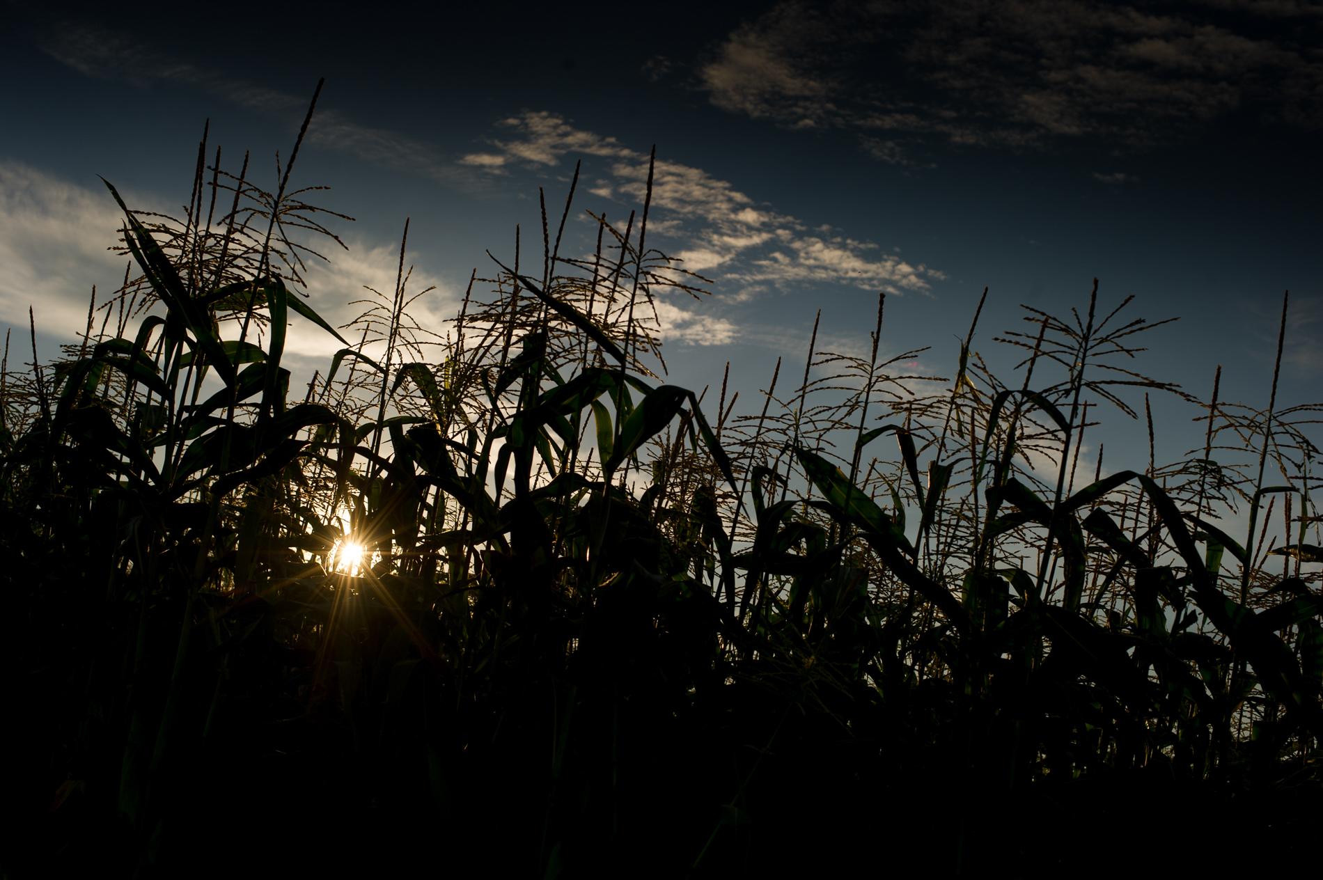 Corn at Sunset