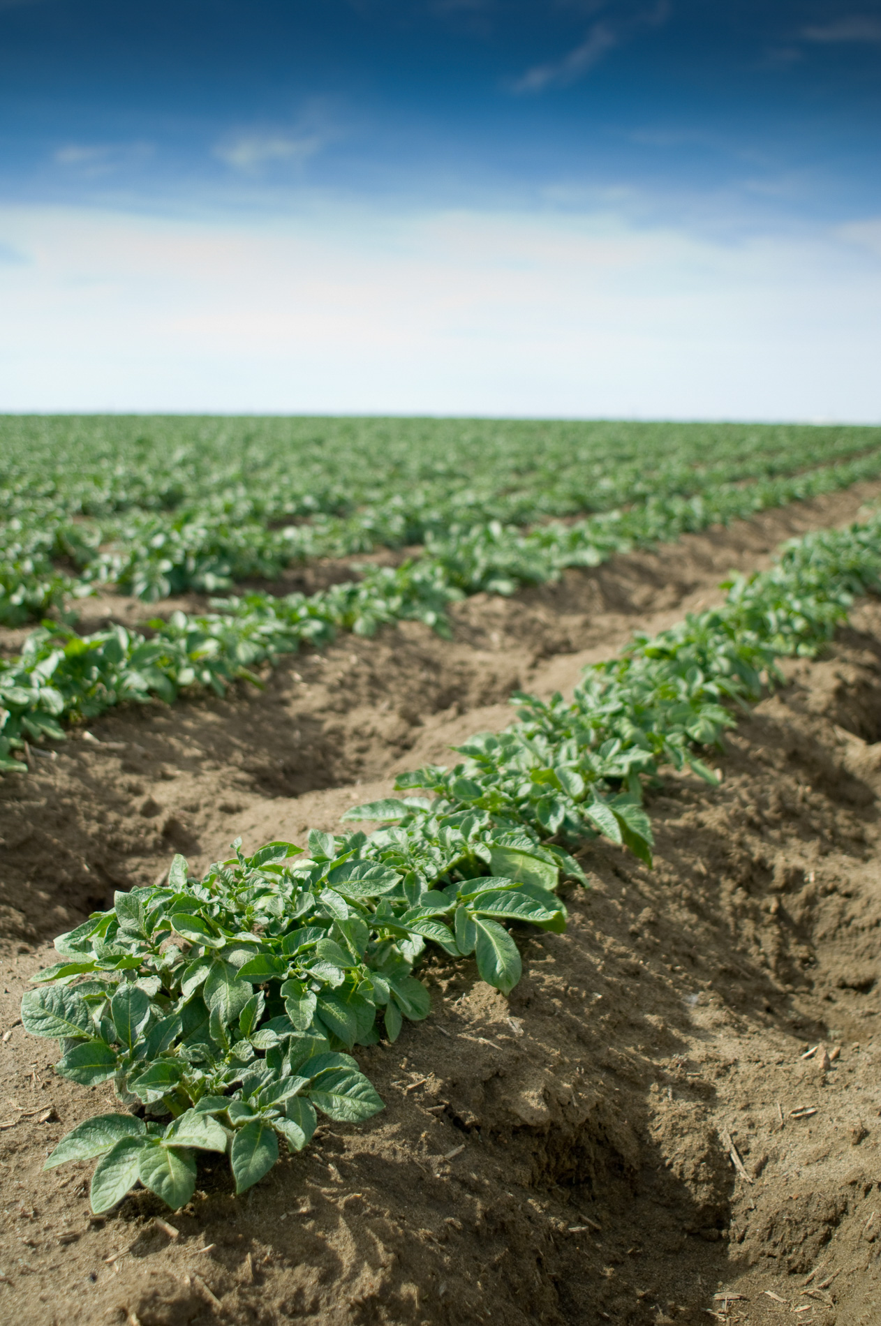 Cultivated Potatoes