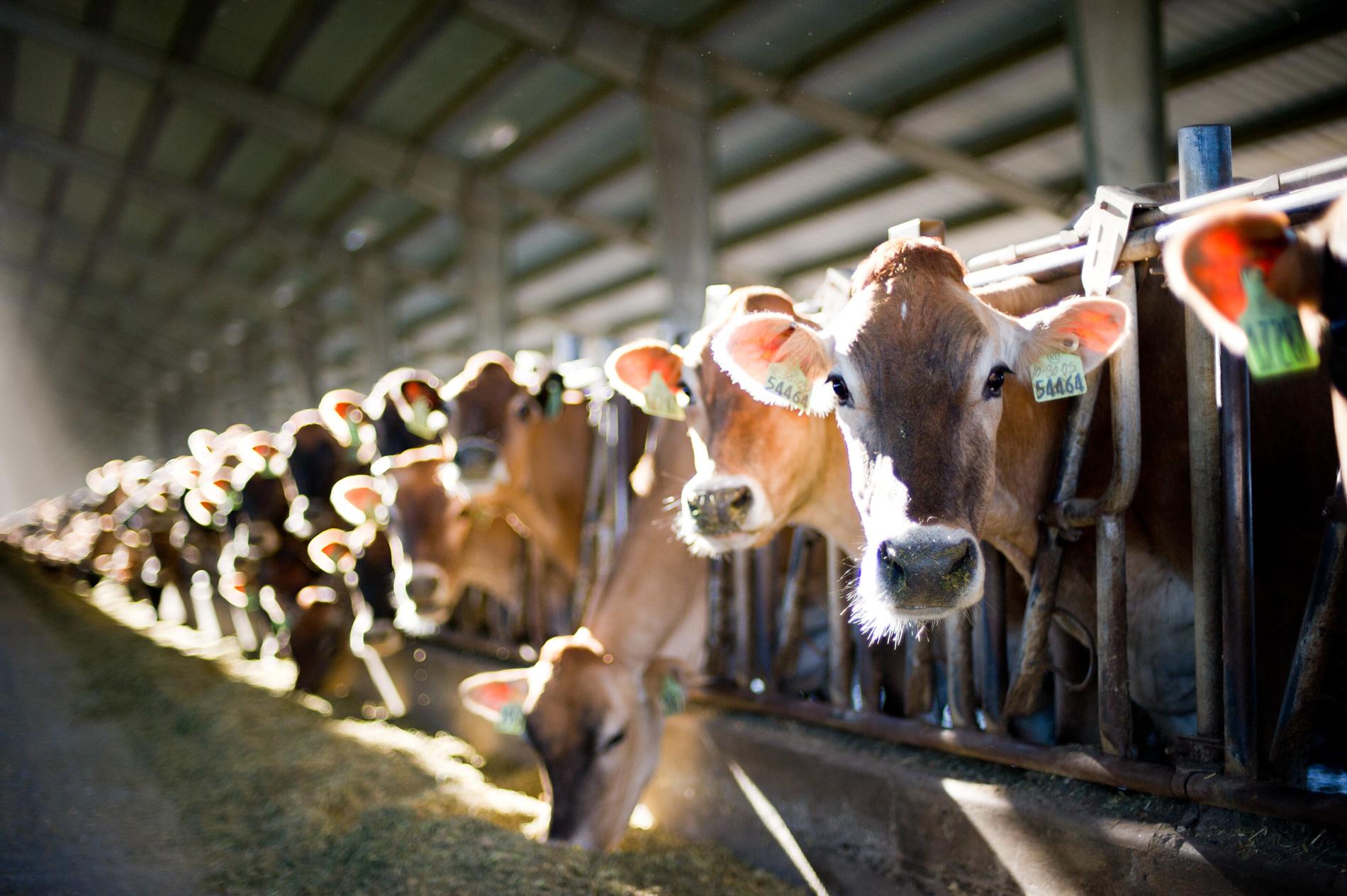 Dairy Cows at Watts