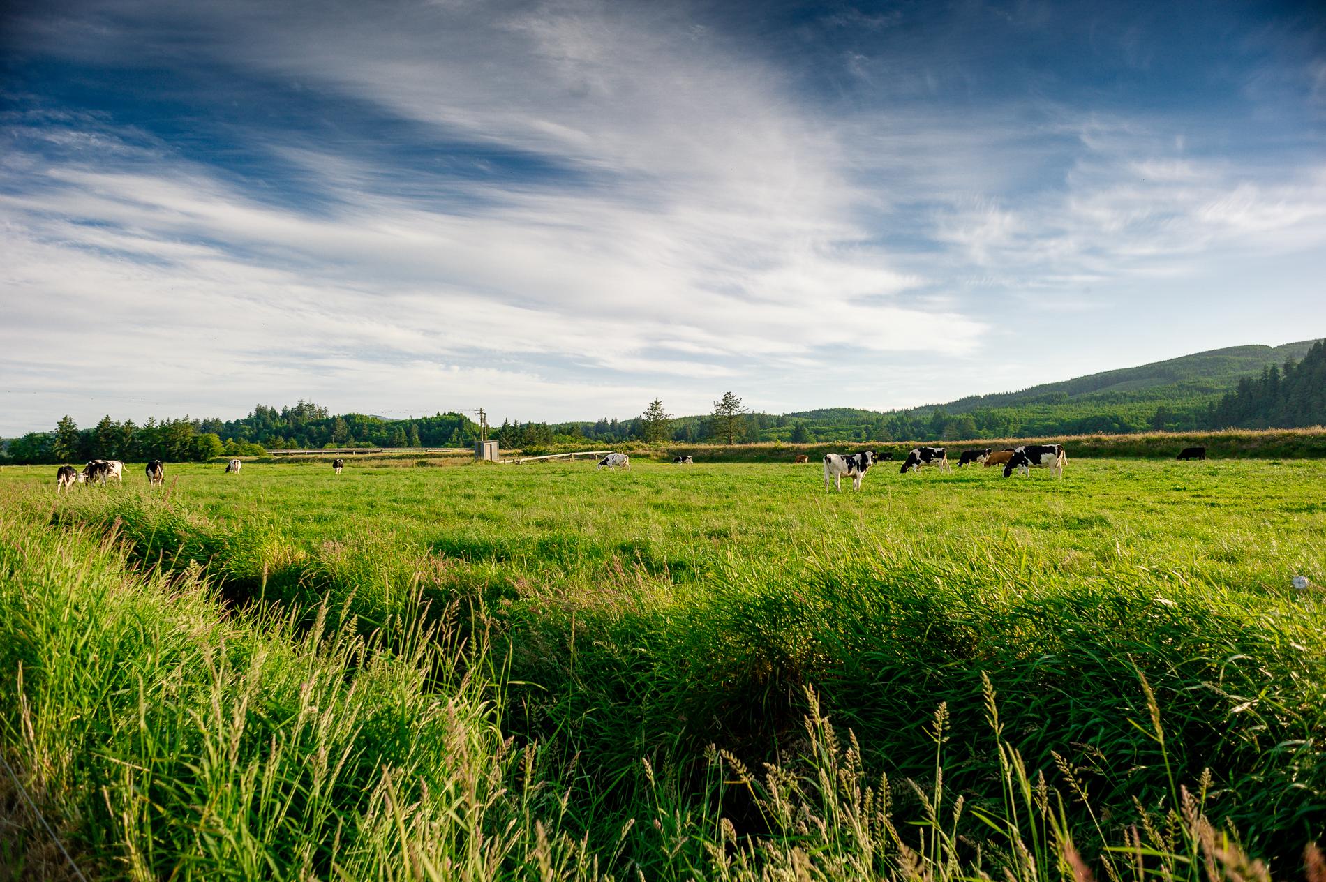 Free Range Dairy Cows